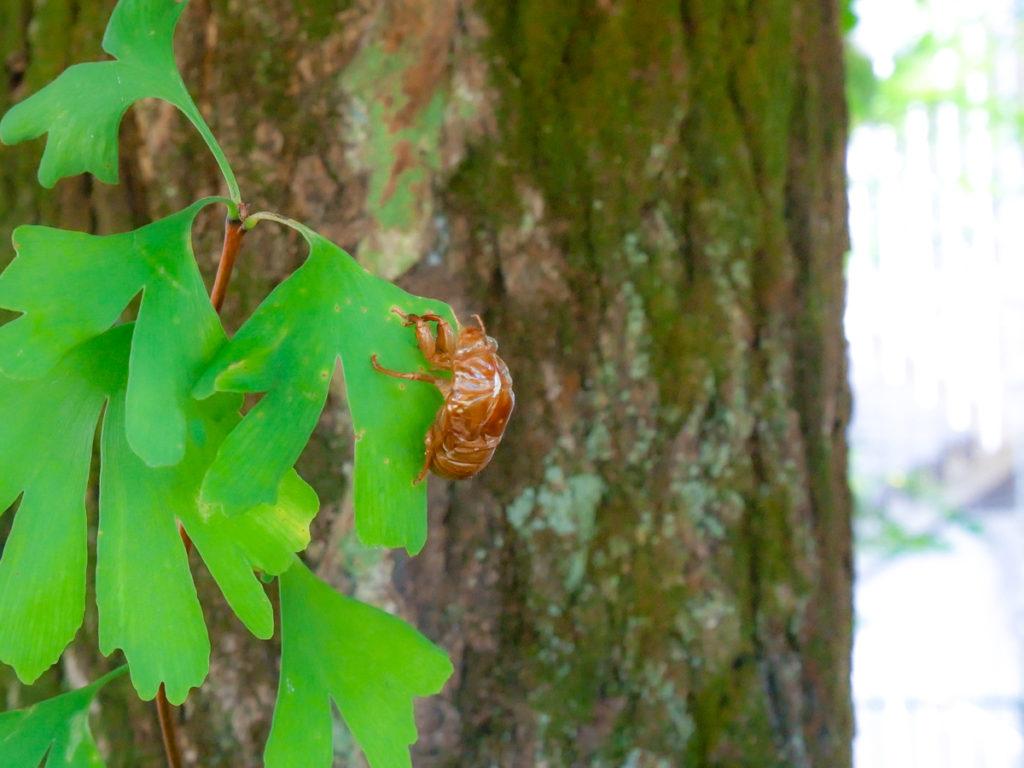 イチョウにとまるセミの抜け殻
